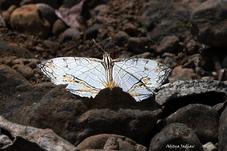 Butterfly Maps White common maps maharashtra