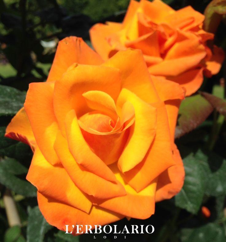 Rose color arancio