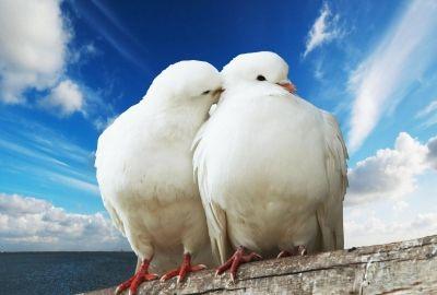 2羽の白い鳩の壁紙 | 壁紙キングダム PC・デスクトップ版