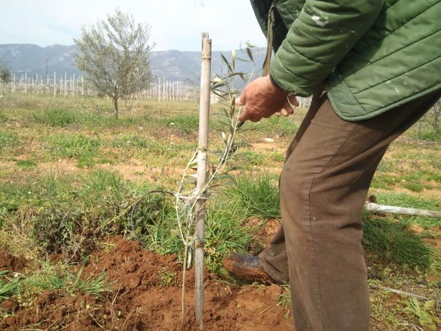 In a few years will give us the olives, in order to produce the wonderful olive oil in our country!