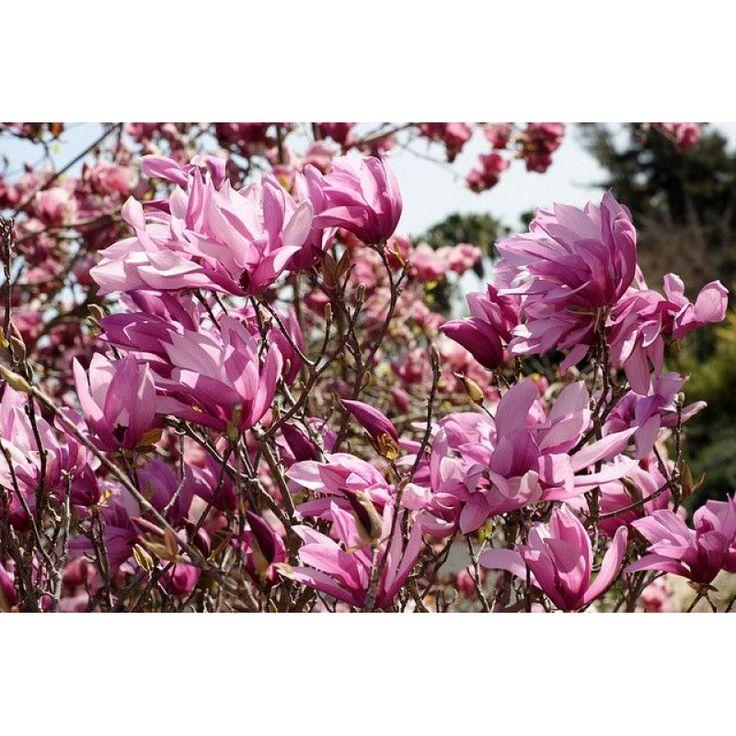 Magnolia Betty 3L