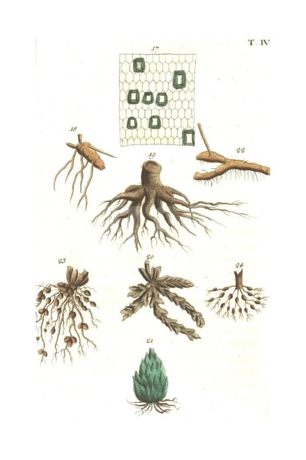 Botanical Illustrations of Root Structure Art Print at Art.com
