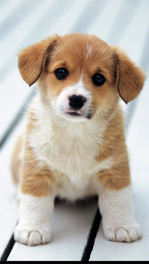 Adorable Puppy Cute Puppy Wallpaper Cute Dogs And Puppies Puppy Wallpaper