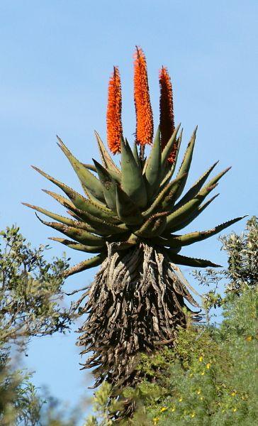 Aloe ferox full size