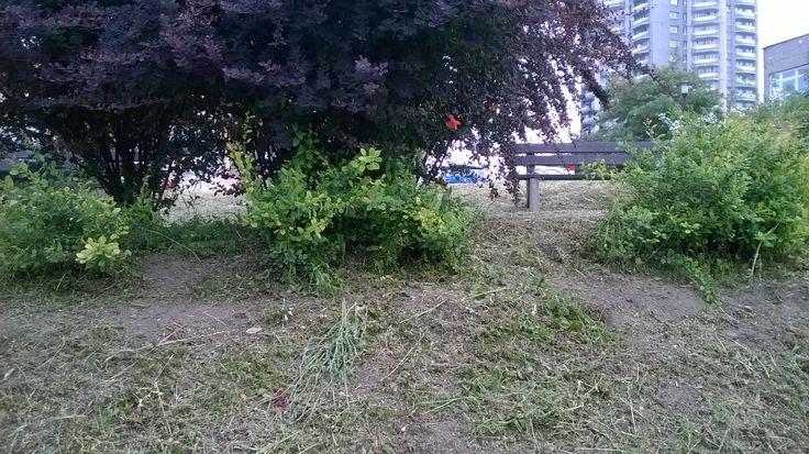 Tutaj rano rosły maki i inne polne kwiaty, ale najlepiej zrobić porządek i trzmile muszą szukać  pożywienia gdzie indziej.