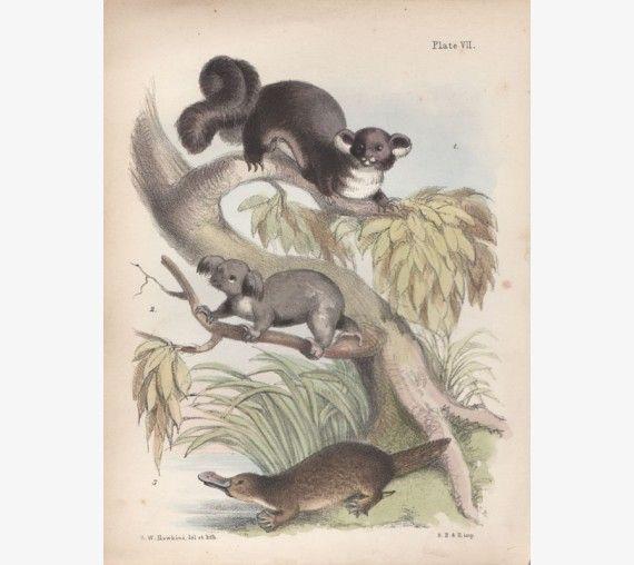 Possum koala platypus lithograph Hawkins