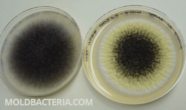 Picture of Aspergillus niger mold family. Learn more here: http://www.moldbacteria.com/mold/aspergillus-penicillium-and-unidentified-spores-what-should-you-know.html