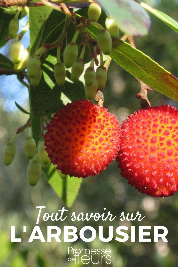 Découvrez tout ce qu'il faut savoir sur l'Arbousier (arbutus) ou Arbre à fraise : un superbe arbuste persitant à fruits décoratifs #jardin #jardinage #arbuste