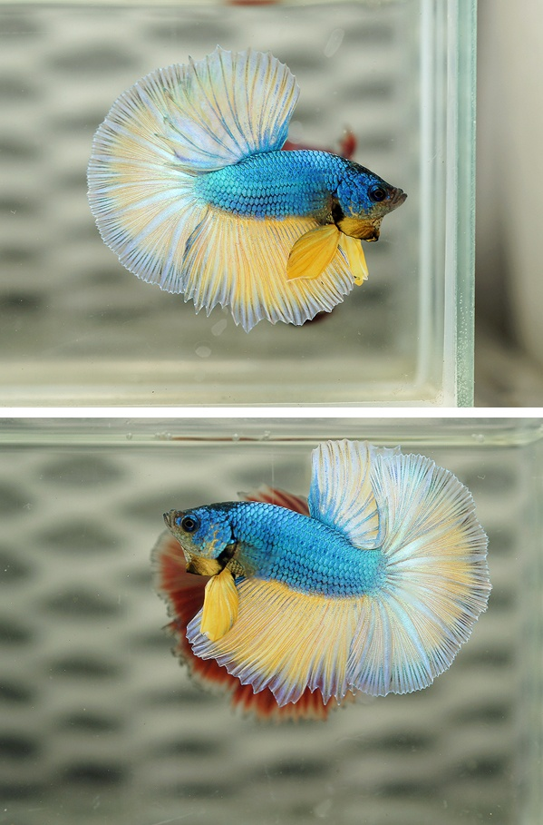 17 best images about betta beauties on pinterest black for Betta fish mirror