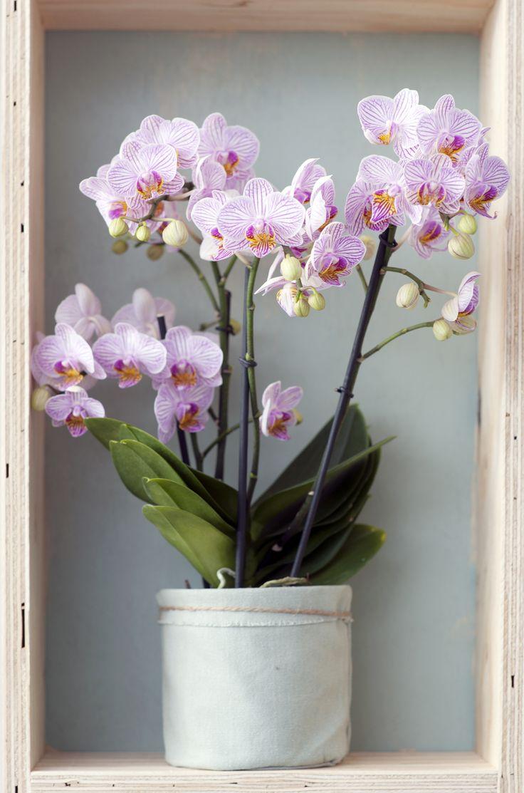 De Phalaenopsis houdt wel van een printje, dus zijn haar bloemen vaak gespikkeld of gestreept. Speciaal om jou een glimlach te geven. #Mooiwatplantendoen.nl #WPVDM #woonplant #Phalaenopsis