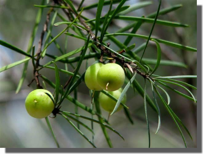 Geebung - native berries, Australian bush tucker