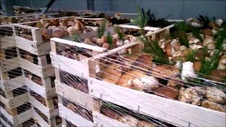 Funghi porcini freschi 23-08-2015