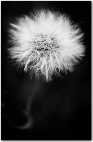 Dandelion | Botanical, Black and White Collection | George Fivaz Fine Art Photography Gallery | Limited edition print available for purchase  on www.georgefivaz.com