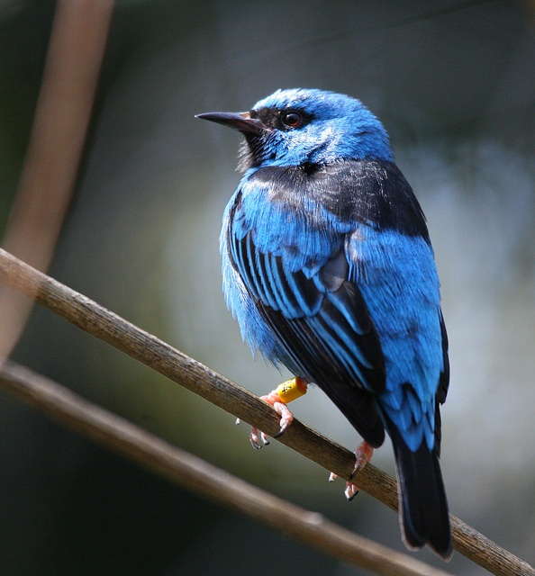 Northern Blue Dacnis by San Diego Shooter, via Flickr.