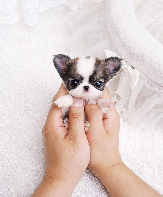 Question: Who lovestiny puppies? Answer: You. You do. Correction: Everyone! Everyone loves tiny puppies! The...Read More »
