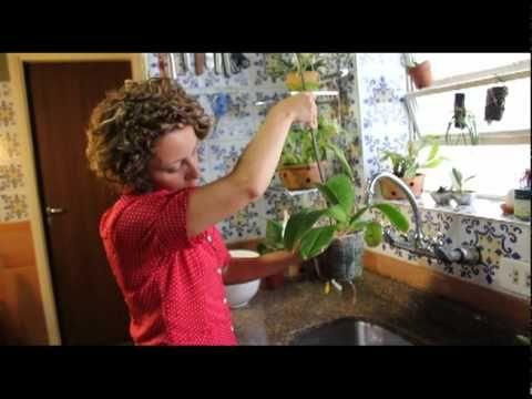 Como Cuidar de Orquídeas - Como regar o vaso - YouTube