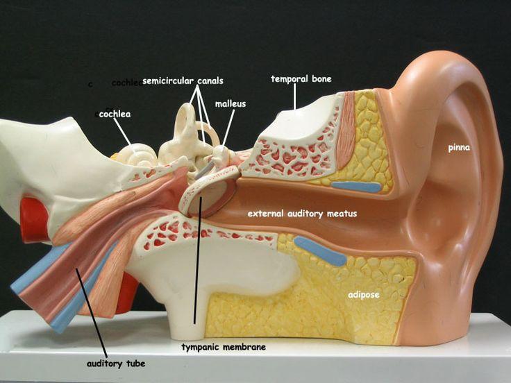 Anatomical Brain Stem Labeled Lab Model
