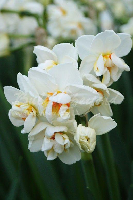 Daffodil - Sir Winston Churchill