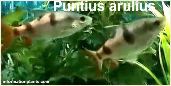 باريس اريولس Arulius Barb سمك زينة انواع الاسماك معلومان عامه معلوماتية نبات حيوان اسماك فوائد Fish Pet Fish Pets