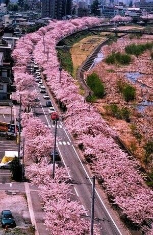 Sakura, Yamanashi Japan / cherry tree blossom in full bloom ✅