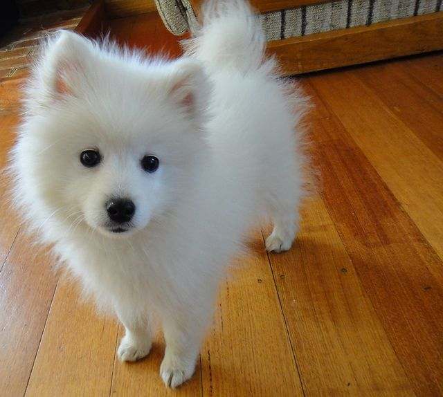 yuki the japanese spitz