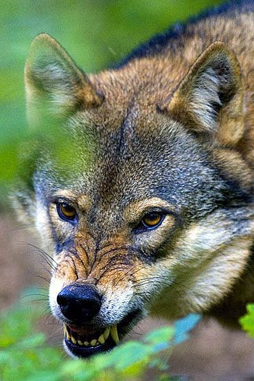 lobo cinzento perigoso