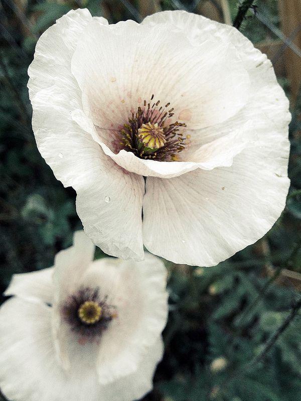 Poppy: white
