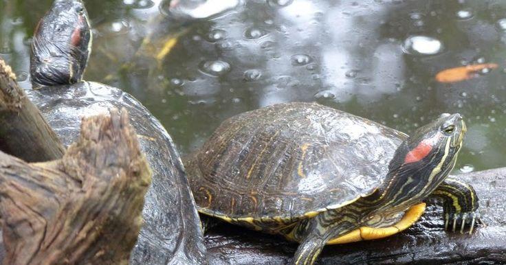 tortue-de-floride-tortue-tempe-rouge-Trachemys-scripta-elegans