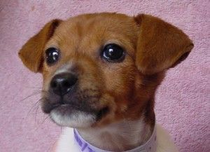 chihuahua terrier mix | Jack Russell Terrier Puppies For Sale | New Jersey Puppies For Sale ...