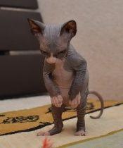 Питомник Канадских Сфинксов Merloni - Котята породы Канадский Сфинкс на продажу - Голые кошки - Галерея фотографий котят породы Канадский Сфинкс