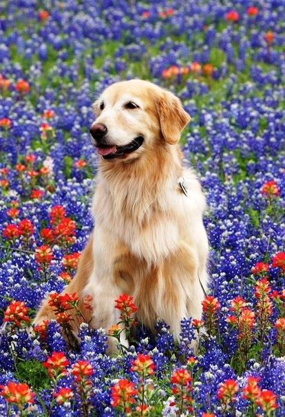Golden Retriever amongst the colorful flowers