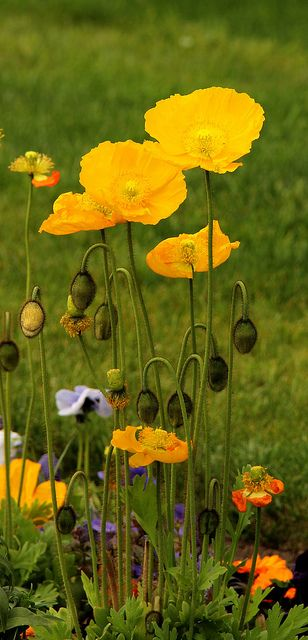 yellow poppies in a field  - the idea of yellow poppies mixed with green for Laura's headpiece