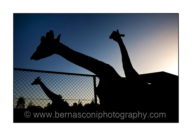 Photography in '3's'....#giraffes at #WesternPlainsZoo by Christine Bernasconi www.bernasconiphotography.com