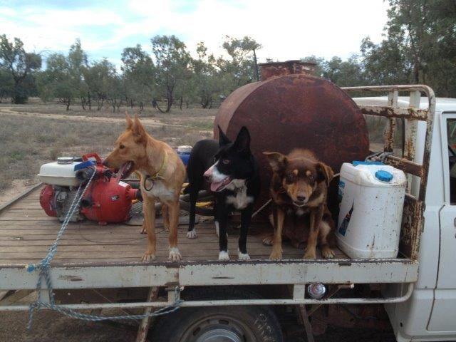Aussie dogs, Buddy, Poppy and Toby run a 100,000 acre sheep farm in NSW with their owner Di Ridge