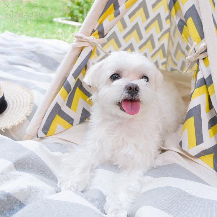 The sun is too hot! I better stay inside my teepee❄️! Lemon tree teepee info http://unitedpups.com/lemon #summer #hot #sun #lemon #yellow #teepee #dogbed #dogsofinstagram #doglover #whitedog #aplacetolovedogs #dogoftheday #petlove #puppy #mydogiscutest #tent #poodle #yorkie #frenchie #pug #shihtzu #paw #pomeranian #chihuahua #maltese #doghouse#unitedpups #weeklyfluff