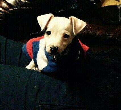 My puppie goku #foxterrier #chileno #baby