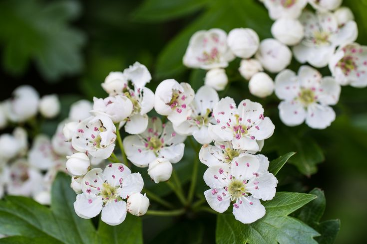 Birth flowers: May - Lily of the Valley & Hawthorn | Birth
