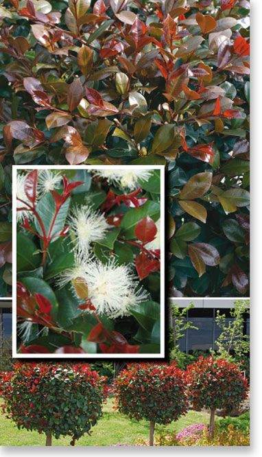 "Plants Management Australia Pty Ltd - Syzygium ""Big Red"", an outstanding hedge or screening plant with large glossy leaves whose new growth explodes with dark crimson foliage."