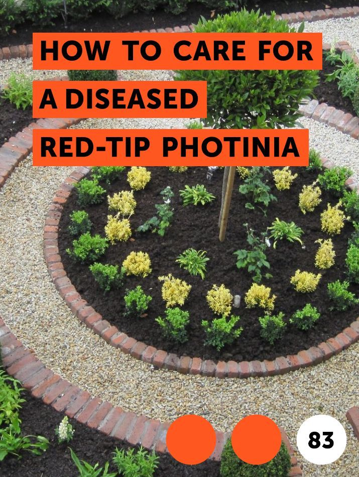How to Care for a Diseased Red-Tip Photinia   Shrubs