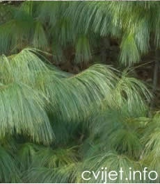 Himalajski bor - Pinus wallichiana