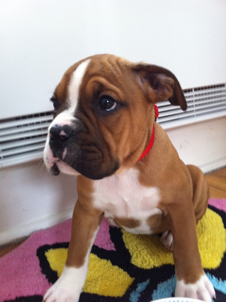 Boxer bulldog