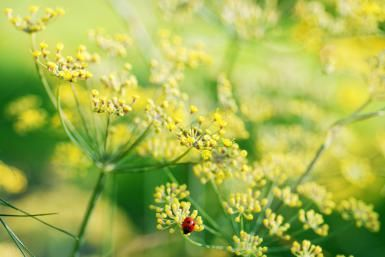 Flowers of a dill plant - Anke Peterat/Moment/Getty Images
