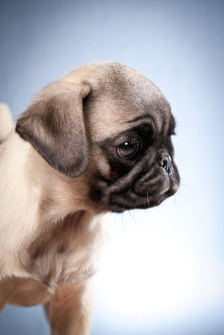 109 best Pug Puppies images on Pinterest