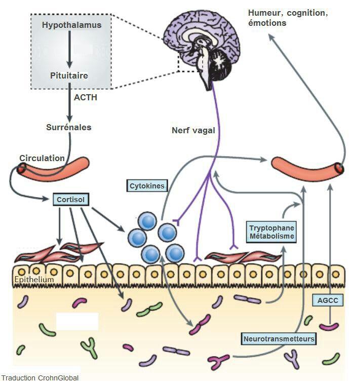 l 39 impact du microbiote intestinal sur le cerveau et le comportement flore intestinale pinterest. Black Bedroom Furniture Sets. Home Design Ideas