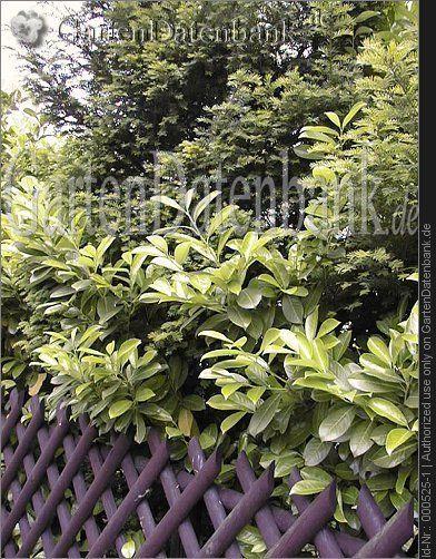 Eibe Taxus baccata Als immergrüne, hohe Sichtschutzhecke, mit Prunus laurocerasus, Lorbeerkirschen