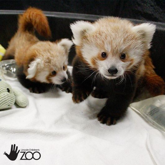 Best Red Pandas Images On Pinterest Baby Red Pandas - Lincoln children's zoo birthday party