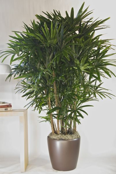 Houston 39 s online indoor plant pot store hawaiian rhapis palm price botanical name - Indoor plant name ...