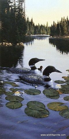 A loon family takes a leisurely swim across the lake in Derk Hansen's print Enchanted Passage. The common loon is a classic North Woods lake bird. They are good indicators of water quality since they