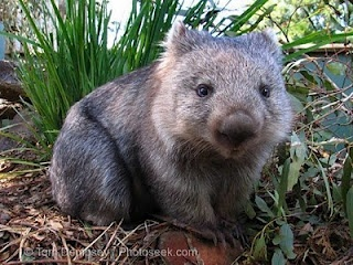 That's it! I want a Wombat