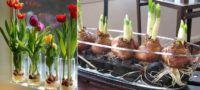 Como Cultivar tus Propios Tulipanes de Manera Sencilla